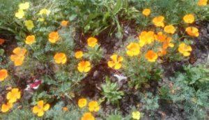 Посадила цветы эшшольция в грунт. Будто золотокрылые бабочки трепещут крылышками.