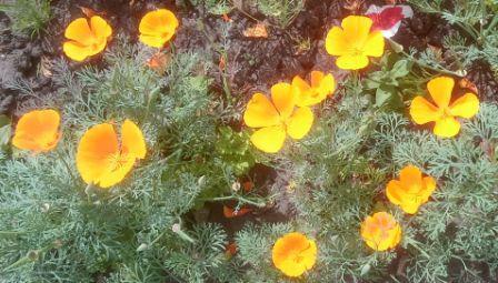 Посадила цветы эшшольция в грунт