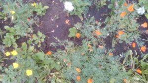 Посадила цветы эшшольция в грунт и не пожалела.