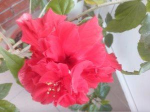 Красивые розы разных цветов - гибискус