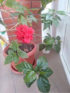 Красивые розы разных цветов гибискус на работе