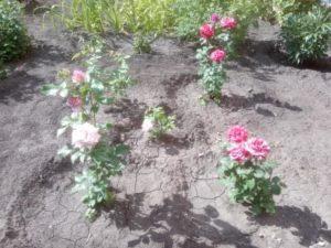 Красивые розы разных цветов из соседнего двора