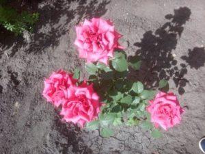 Красивые розы разных цветов. Ярко-розовые розы..