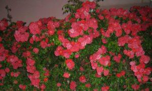 Красивые розы разных цветов - чайная роза в Краснодарском крае