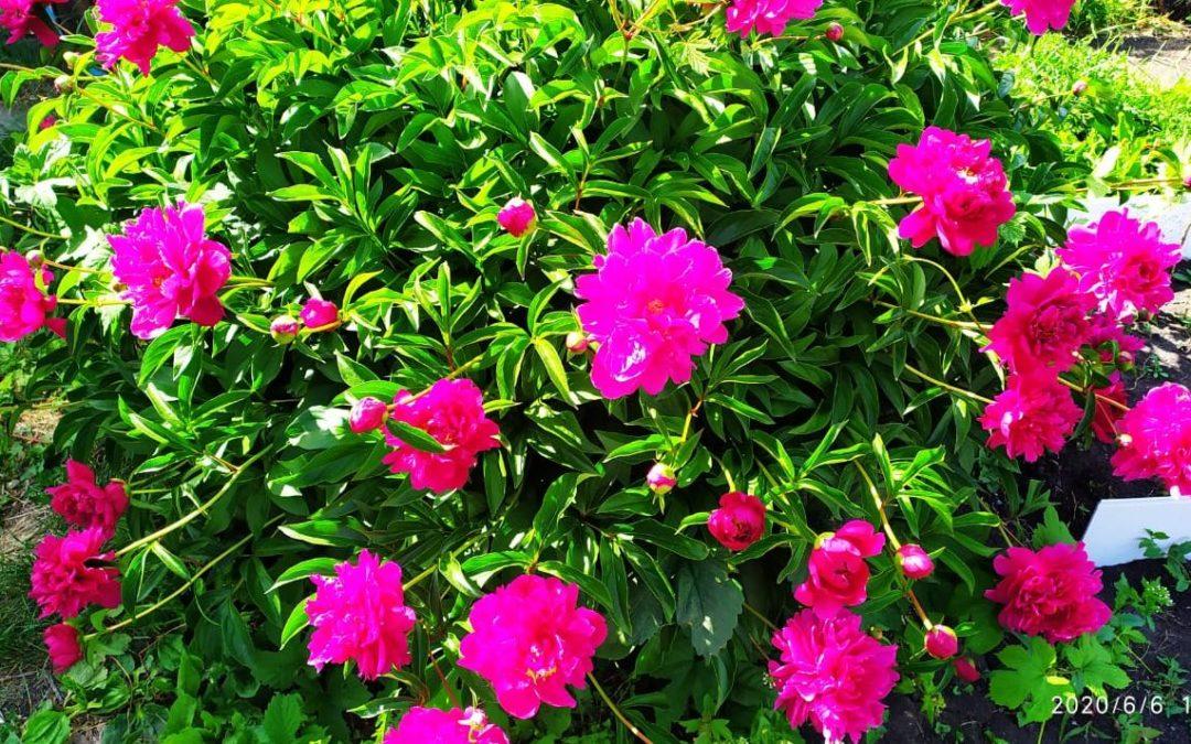 Пионы цветы лета