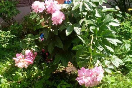 Пионы цветы лета.  На работе пионы цветут каждыйй год.
