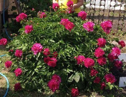 Пионы цветы лета. Пионовый куст на даче.