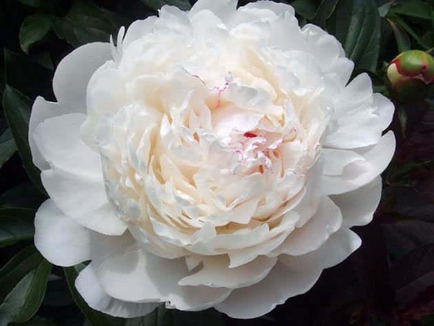 Пионы цветы лета. Роскошный белый пион.