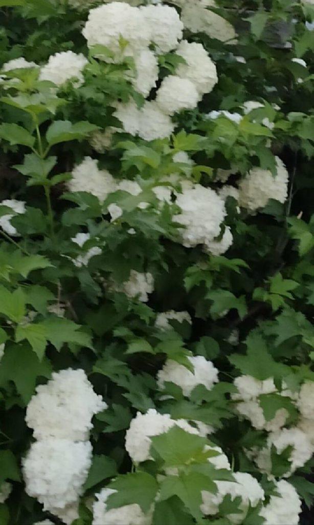 Цветущий бульденеж - этот декоративный куст цветёт весь июнь