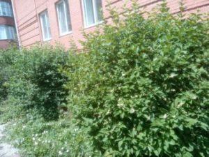 Цветы чубушника. Кустарник