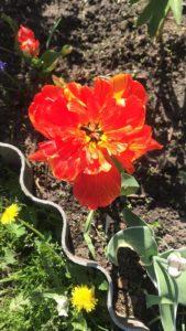 Цветы тюльпаны в саду у сестры красный маковый