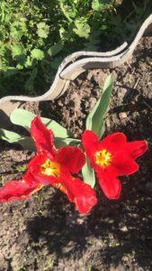 Цветы тюльпаны в саду у сестры -красный нестандартный