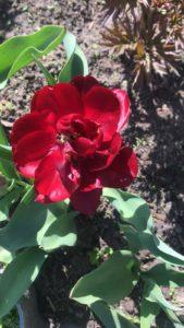 Цветы тюльпаны в саду у сестры -махровый красный