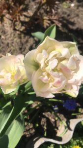 Цветы тюльпаны в саду у сестры - махровый розовый