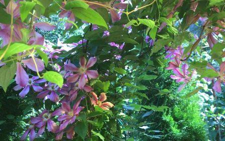 Цветы клематис в саду у сестры