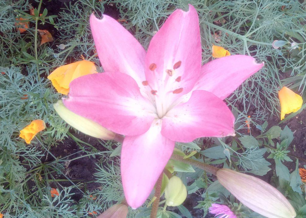 Про лилии. Розовато-лиловый.