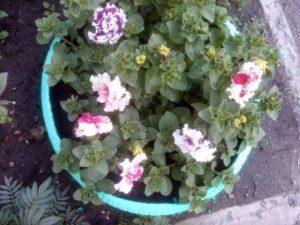 Красивые цветы петунии махровые