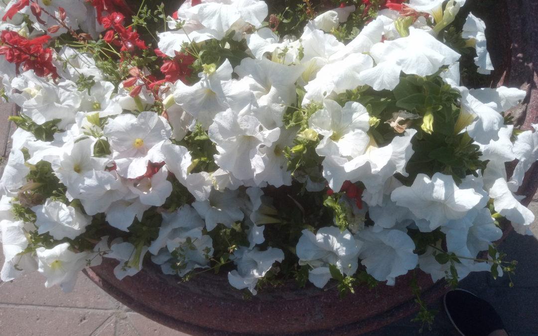 Красивые цветы петунии
