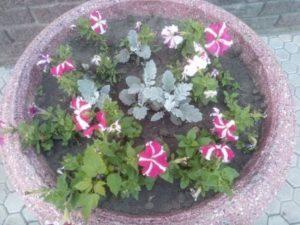 Красивые цветы петунии вазон на работе