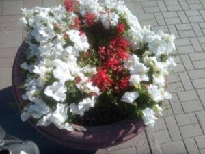 Красивые цветы петунии у кинотеатра