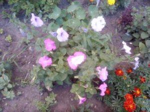 Красивые цветы петунии на клумбе