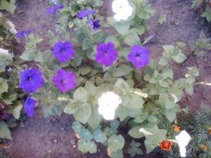 Красивые цветы петунии фиолетовые
