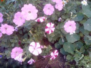 Красивые цветы петунии розовые