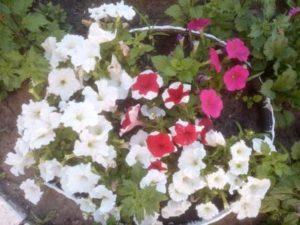 Красивые цветы петунии белые и красные