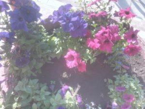 Красивые цветы петунии у супермаркета