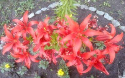 Про лилии