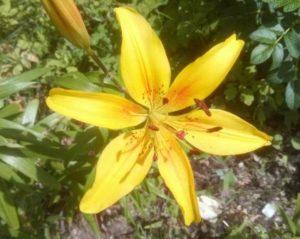 Про лилии. Жёлтый цвет - цвет солнышка, цвет тепла и спокойствия.