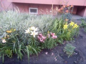 Про лилии в соседнем дворе