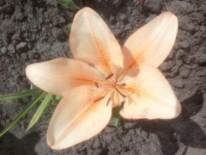 Про лилии. Персиковый цвет