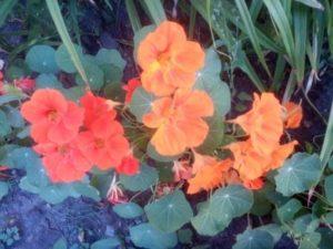 Цветущая настурция - огонь и пламя