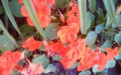 Цветущая настурция
