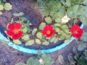 Цветущая настурция -  праздник для души