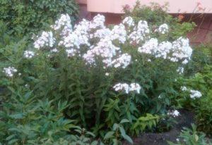 Цветущие флоксы белые