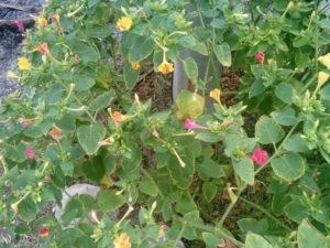 Цветок мирабилис в Крыму