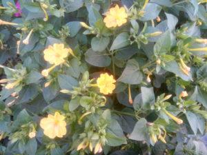 Цветок мирабилис жёлтый
