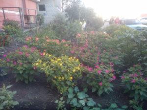 Цветок мирабилис за домом