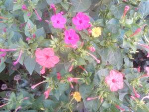 Ярко-розовый цветок мирабилис