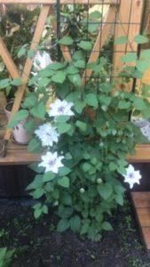 Цветы клематис в саду у сестрый - белый клематис