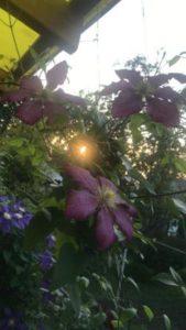 Цветы клематис в саду - пробился лучик