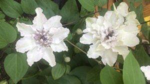 Цветы клематис в саду у сестры-елые махровые