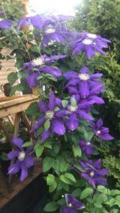 Цветы клематис в саду у сестры во весь рост