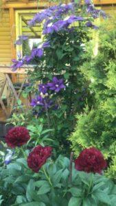 Цветы клематис в саду у сестры и красные пионы