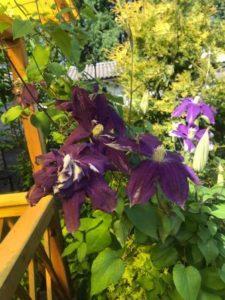 Цветы клематис в саду у сестры - шоколадно-бордовый красавец