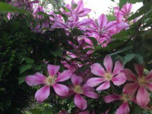 Цветы клематис в саду у сестры - лиловые
